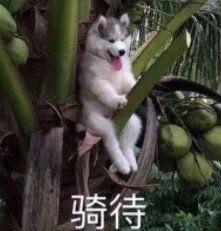 骑待(期待)表情包_狗子骑树